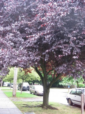 purple_tree1