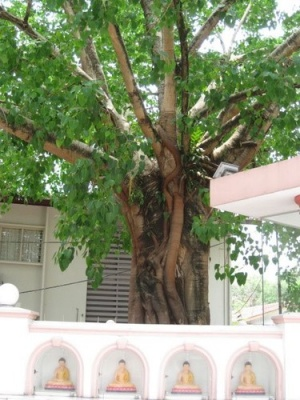 trees_and_buddhas_at_Buddhist_Maha_Vihara