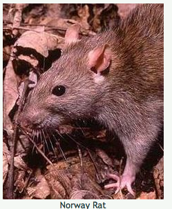 Norway_Rat