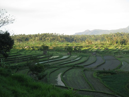 rice_fields_Tirta_Gangga