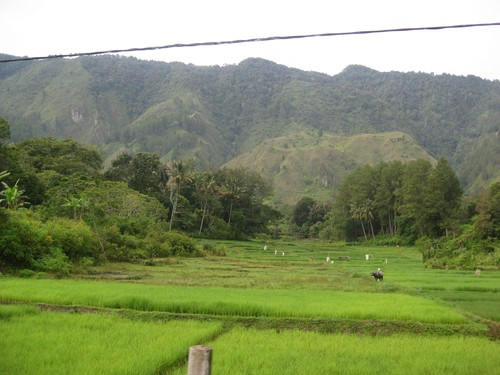 rice_fields_Samosir_island
