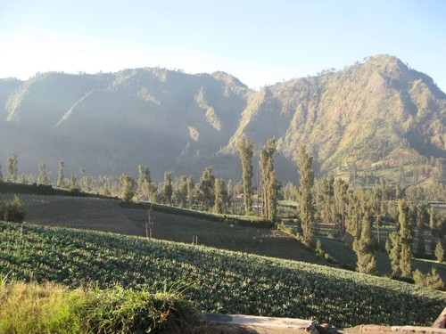 crops_in_Bromo