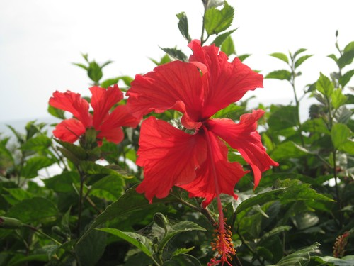 hibiscus_at_Tanah_Lot
