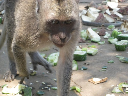 monkey_coming_at_Uluwatu_Temple