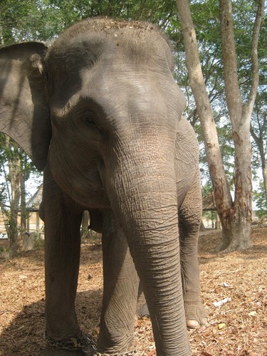 elephant_at_Taman_Nasional_Way_Kambas_2
