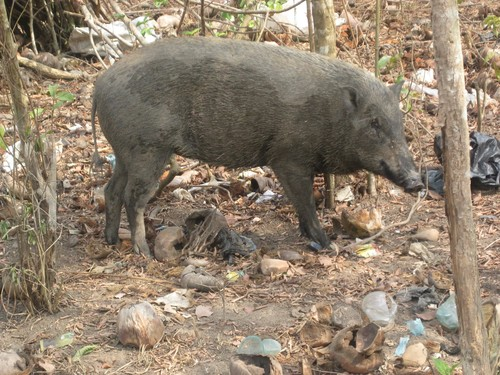 wild_pig_at_Taman_Nasional_Way_Kambas