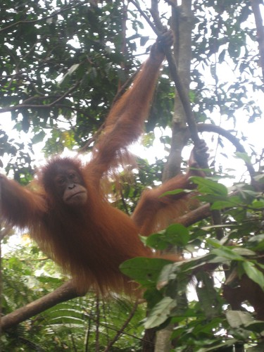 baby_orangutan_at_Gunung_Leuser_National_Park