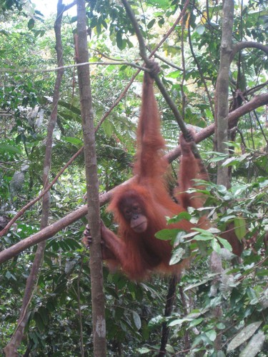 baby_oranutan_swinging_at_Gunung_Leuser_National_Park