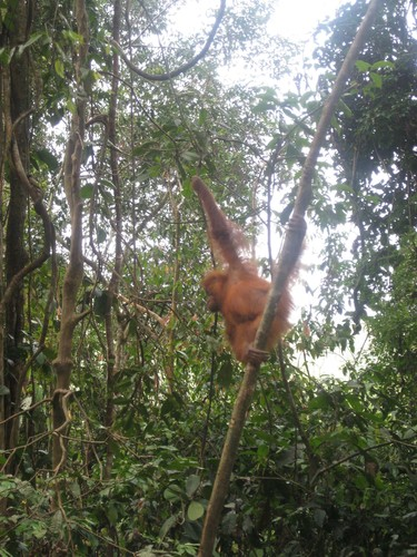 baby_swinging_at_Gunung_Leuser_National_Park