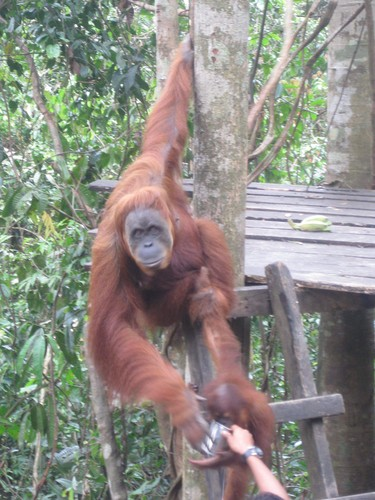 feeding_time_at_Gunung_Leuser_National_Park