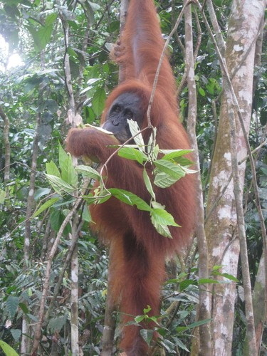 orangutan_with_banana_at_Gunung_Leuser_National_Park