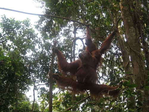 orangutans_at_Gunung_Leuser_National_Park