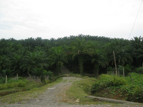 palm_oil_plantation_in_Bukit_Lanwang