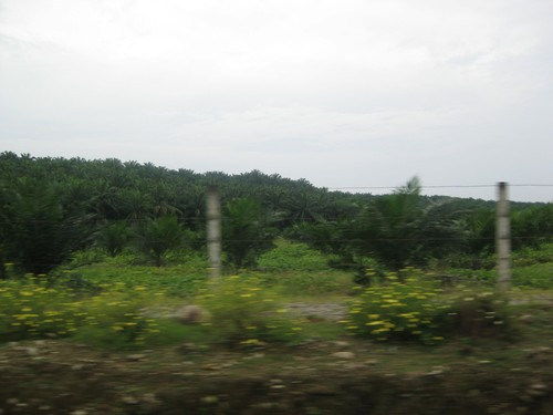 palm_oil_plantations_in_Bukit_Lanwang