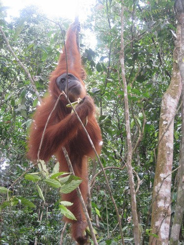 posing_orangutan_at_Gunung_Leuser_National_Park