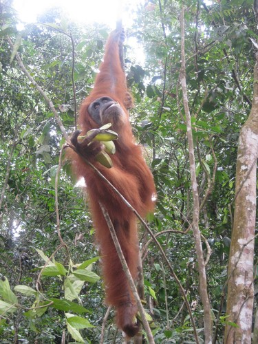 posing_organutan_2_at_Gunung_Leuser_National_Park