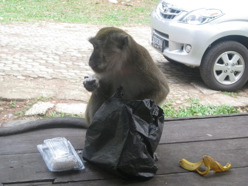 monkey_with_food_in_Palembang