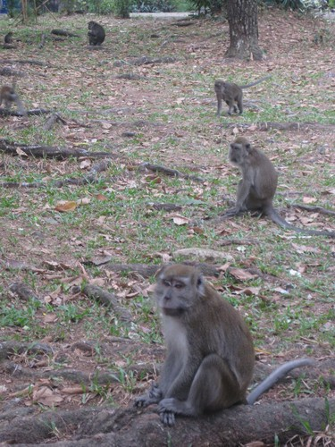 monkeys_in_Palembang