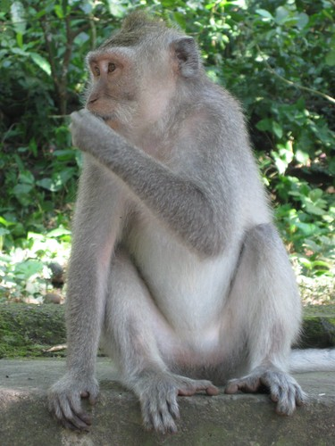 monkey_eating_at_monkey_forest