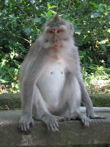 posing_monkey_at_monkey_forest