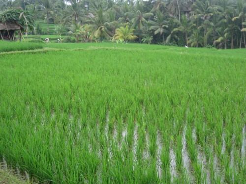 rice_fields_2