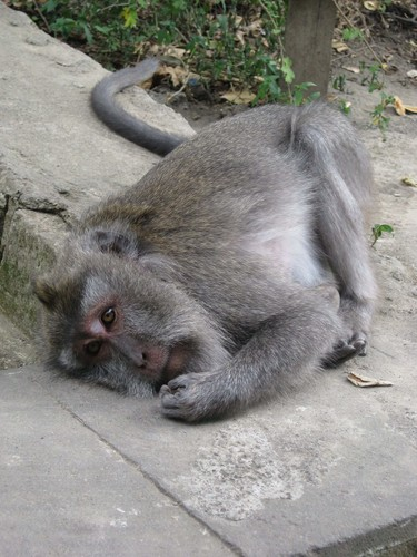 sleepy_monkey_at_monkey_forest