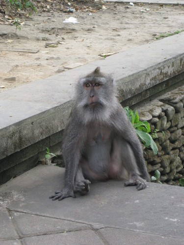wise_monkey_at_monkey_forest