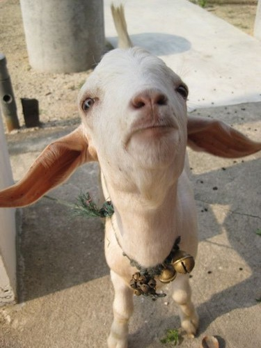 goat_friend_at_Kanthareesar_temple