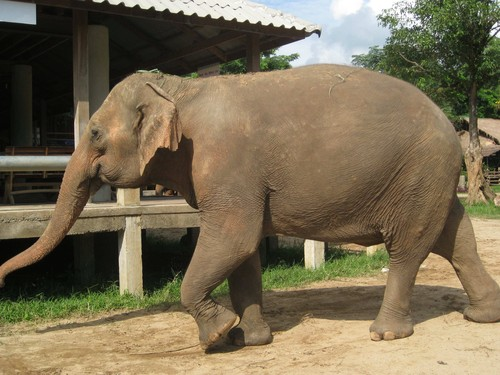 Im_coming_at_Elephant_Nature_Park