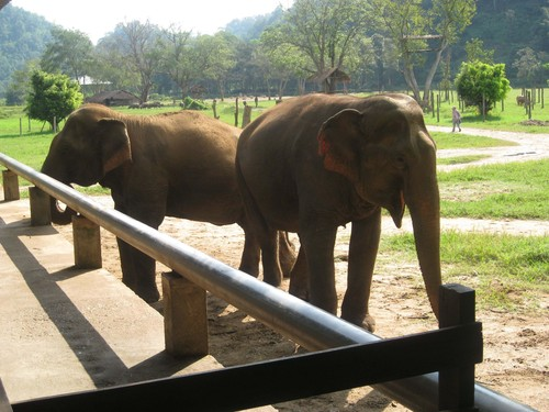 elephant_friends_at_Elephant_Nature_Park