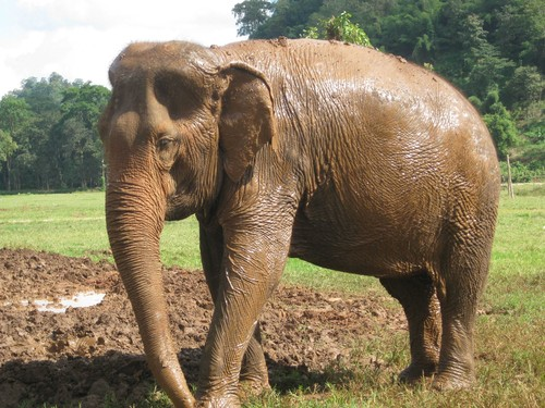 mud_is_even_better_than_dirt_at_Elephant_Nature_Park