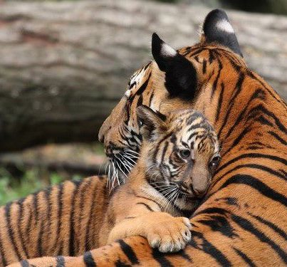 cuddles_from_tigers