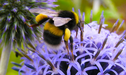 Bumblebee_Conservation_Trust