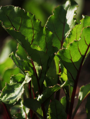 Beetroot_leaf