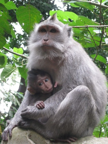 Mum_and_baby_monkies_at_Monkey_Forest