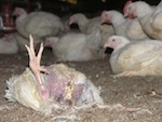meat-chickens_dead-chicken-in-factory-farm